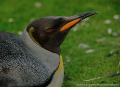 king-penguin-falkland-islands-4839-copyright-photographers-on-safari-com