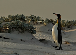 king-penguin-falkland-islands-4841-copyright-photographers-on-safari-com