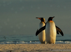 king-penguin-falkland-islands-4842-copyright-photographers-on-safari-com