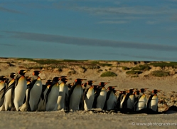 king-penguin-falkland-islands-4844-copyright-photographers-on-safari-com