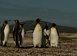 king-penguin-falkland-islands-4845-copyright-photographers-on-safari-com