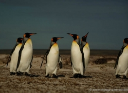 king-penguin-falkland-islands-4846-copyright-photographers-on-safari-com