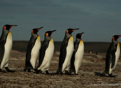 king-penguin-falkland-islands-4847-copyright-photographers-on-safari-com