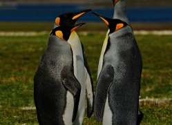 king-penguin-falkland-islands-4851-copyright-photographers-on-safari-com