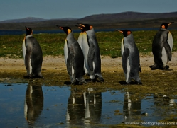 king-penguin-falkland-islands-4852-copyright-photographers-on-safari-com