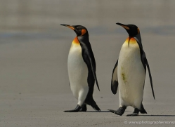 king-penguin-falkland-islands-4853-copyright-photographers-on-safari-com