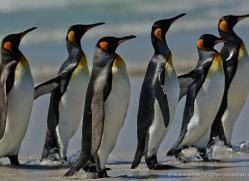 king-penguin-falkland-islands-4854-copyright-photographers-on-safari-com