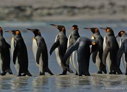 king-penguin-falkland-islands-4855-copyright-photographers-on-safari-com