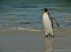 king-penguin-falkland-islands-4856-copyright-photographers-on-safari-com