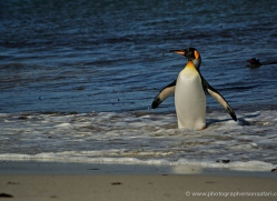 king-penguin-falkland-islands-4857-copyright-photographers-on-safari-com