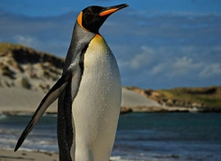 king-penguin-falkland-islands-4858-copyright-photographers-on-safari-com