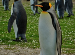 king-penguin-falkland-islands-4859-copyright-photographers-on-safari-com