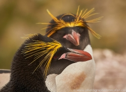 macaroni-penguin-copyright-photographers-on-safari-com-9236