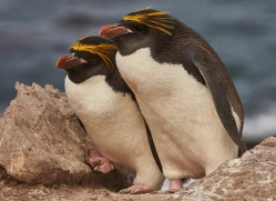 macaroni-penguin-copyright-photographers-on-safari-com-9239
