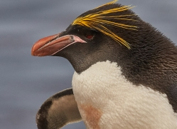 macaroni-penguin-copyright-photographers-on-safari-com-9240