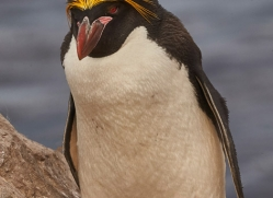 macaroni-penguin-copyright-photographers-on-safari-com-9241