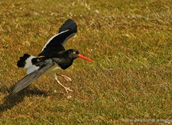 magellanic-oystercatcher-falkland-islands-4922-copyright-photographers-on-safari-com