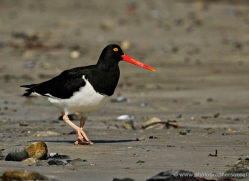 magellanic-oystercatcher-falkland-islands-4923-copyright-photographers-on-safari-com