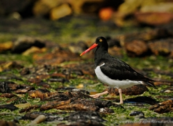 magellanic-oystercatcher-falkland-islands-4924-copyright-photographers-on-safari-com
