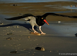 magellanic-oystercatcher-falkland-islands-4925-copyright-photographers-on-safari-com