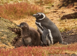 magellanic-penguin-copyright-photographers-on-safari-com-9245