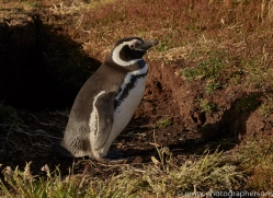 magellanic-penguin-copyright-photographers-on-safari-com-9246