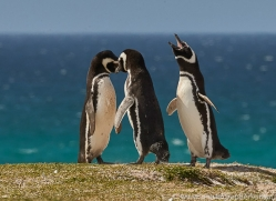magellanic-penguin-copyright-photographers-on-safari-com-9248