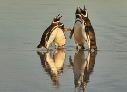 magellanic-penguin-copyright-photographers-on-safari-com-9249