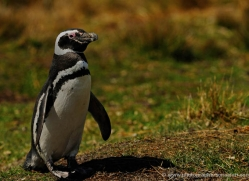 magellanic-penguin-falkland-islands-4829-copyright-photographers-on-safari-com