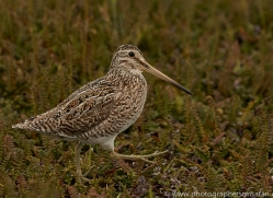 magellanic-snipe-copyright-photographers-on-safari-com-9251