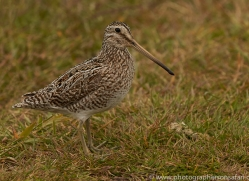 magellanic-snipe-copyright-photographers-on-safari-com-9252