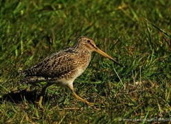 magellanic-snipe-falkland-islands-4957-copyright-photographers-on-safari-com