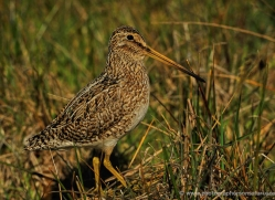 magellanic-snipe-falkland-islands-4958-copyright-photographers-on-safari-com