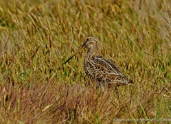 magellanic-snipe-falkland-islands-4982-copyright-photographers-on-safari-com