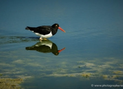 megallanic-oystercatcher-falkland-islands-4927-copyright-photographers-on-safari-com