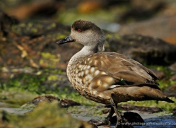 patagonian-crested-duck-falkland-islands-5012-copyright-photographers-on-safari-com