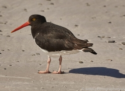 pied-oystercatcher-copyright-photographers-on-safari-com-9257