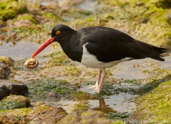 pied-oystercatcher-copyright-photographers-on-safari-com-9258