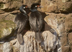 rock-cormorant-copyright-photographers-on-safari-com-9260
