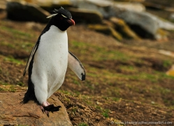 rockhopper-penguin-falkland-islands-4786-copyright-photographers-on-safari-com