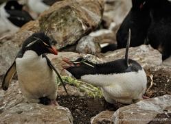 rockhopper-penguin-falkland-islands-4790-copyright-photographers-on-safari-com
