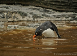 rockhopper-penguin-falkland-islands-4794-copyright-photographers-on-safari-com