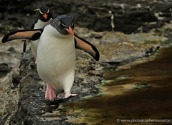 rockhopper-penguin-falkland-islands-4795-copyright-photographers-on-safari-com