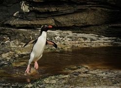 rockhopper-penguin-falkland-islands-4797-copyright-photographers-on-safari-com