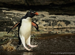 rockhopper-penguin-falkland-islands-4798-copyright-photographers-on-safari-com