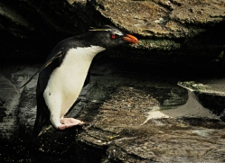 rockhopper-penguin-falkland-islands-4799-copyright-photographers-on-safari-com