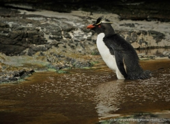 rockhopper-penguin-falkland-islands-4800-copyright-photographers-on-safari-com
