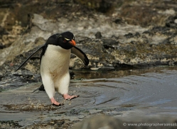 rockhopper-penguin-falkland-islands-4801-copyright-photographers-on-safari-com