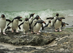 rockhopper-penguin-falkland-islands-4803-copyright-photographers-on-safari-com