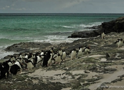 rockhopper-penguin-falkland-islands-4804-copyright-photographers-on-safari-com